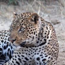 Leopard in Queen Elizabeth National Park, Uganda - Adventure Travel Photos