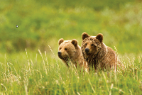 2014_01_31_10_15_30_ETan_Kamchatka_Brown_Bear_.jpg_IrfanVieweb9ca5