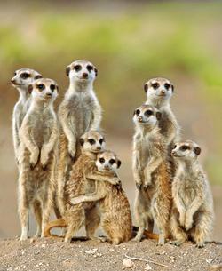 Adorable meerkats