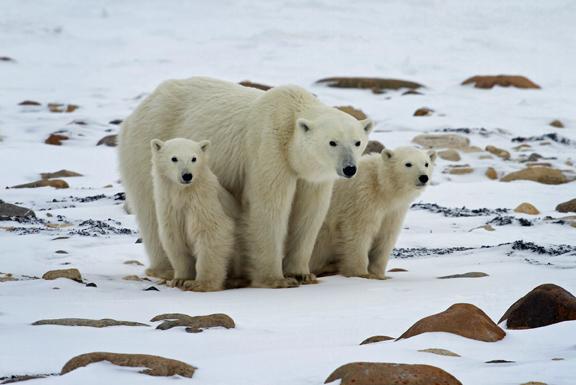 Polar Bears in peril
