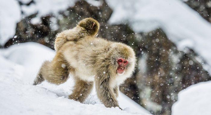 Snow Monkeys of Japan Wilderness Travel